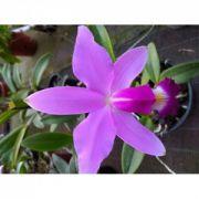 Muda de Orquídea Cattleya violacea tipo