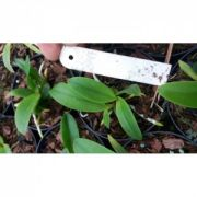 Muda de Orquídea Cattleya violacea variedade alba