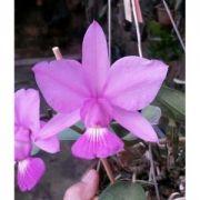Muda de Orquídea cattleya walkeriana tipo PO lindinha