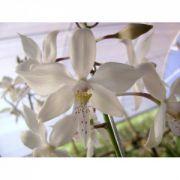 Muda de Orquídea Caularthron Bicornutum