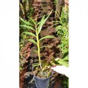 Muda de Orquídea Dendrobium fimbriatum