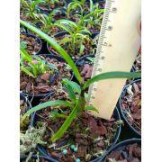 Muda de Orquídea Dendrobium Johannis Dark