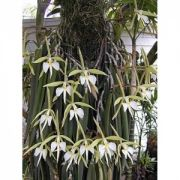 Muda de Orquídea Epidendrum Parkinsonianum
