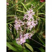 Muda de Orquídea Epidendrum rondoniensi