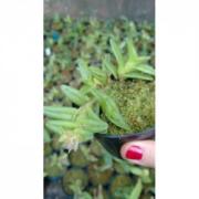 Muda de Orquídea Nanodes Discolor