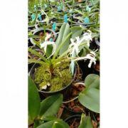 Muda de Orquídea Neofinetia Falcata