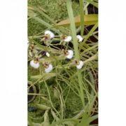Muda de Orquídea Ornitophora radicans