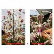 Muda de Orquídea Vanda lamellata x Vanda bicolor