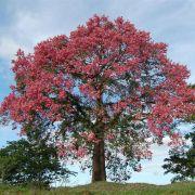 Muda de Paineira Rosa - Ceiba Speciosa