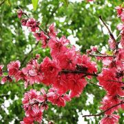 Muda de Pêssego Ornamental de Flor Dupla Rosa