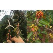 Muda de Pimenta de Macaco - Planta Medicinal