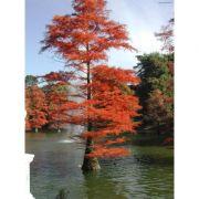 Muda de Pinheiro do Brejo ou Cipreste Vermelho - Taxodium Distichum