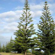 Muda de Pinheiro Norfolk - Araucaria Heterophylla ou Excelsa