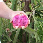 Muda de Pitaya Desert King - Enraizada