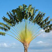 Muda de Ravenala 2 metros - Palmeira de Madagascar - Ravenala Madagascariensis