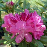Muda de Rododendro ou Azaléia Arbórea - Rhododendron