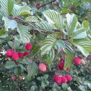 Muda de Veludinho Vermelho do Cerrado - Pau de Espeto