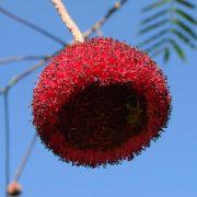 Muda de Visgueiro ou Fava de Bolota - Parkia Platycephala