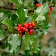 Muda de Azevinho ou Arbusto de Natal