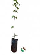 Mudas de Quina Quina - Planta Medicinal
