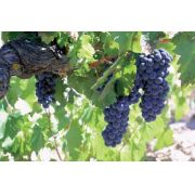 Mudas de Uva Francesa Preta - Saborosa Frutífera