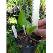 Orquídea Gutatta Coerulea