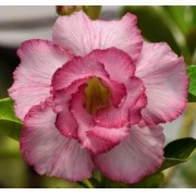 Rosa do Deserto YOLANDA com Flor Rosa Dobrada - EV-103