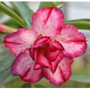 Rosa do Deserto DOLORES Dobrada Cor Matizada em Pink e Branco - EV-102