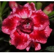 Rosa do Deserto LAURA Cor Matizada em Vermelho e Branco Dobrada - EV-345