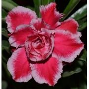 Rosa do Deserto AUGUSTA Cor Matizada em Vermelho e Rosa Dobrada - EV-354