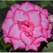 Rosa do Deserto CARMEM Cor Matizada Rosa com Borda Pink - EV-425