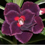 Rosa do Deserto ELIZA cor Roxo Púrpura com Borda Rosa - EV-406