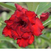 Rosa do Deserto CELINA Flor Tripla Vermelha Dobrada com Borda Preta - EV-224