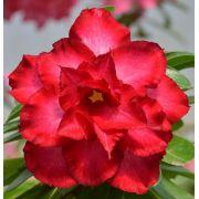 Rosa do Deserto ODETE Flor Tripla Vermelha Dobrada - EV-231