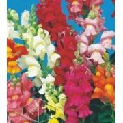 Sementes de Antirrhinum / Boca de Leão Anã Sortida (Isla Multi)