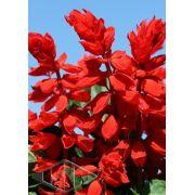 Sementes de Sálvia Splendens Anã / Flor de Cardeal (Isla Multi)