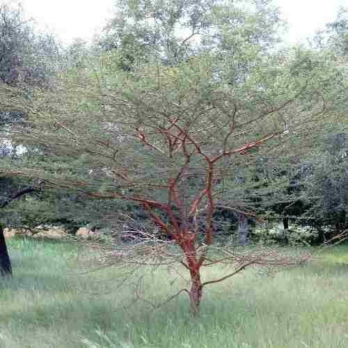 Muda de Acácia Pompom - Enxertada - Vachellia Seyal