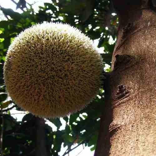 Muda de Fruta Pão Africana - African Breadfruit - Treculia Africana