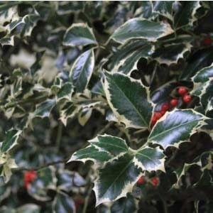 Muda de Azevinho Variegata - Arbusto de Natal
