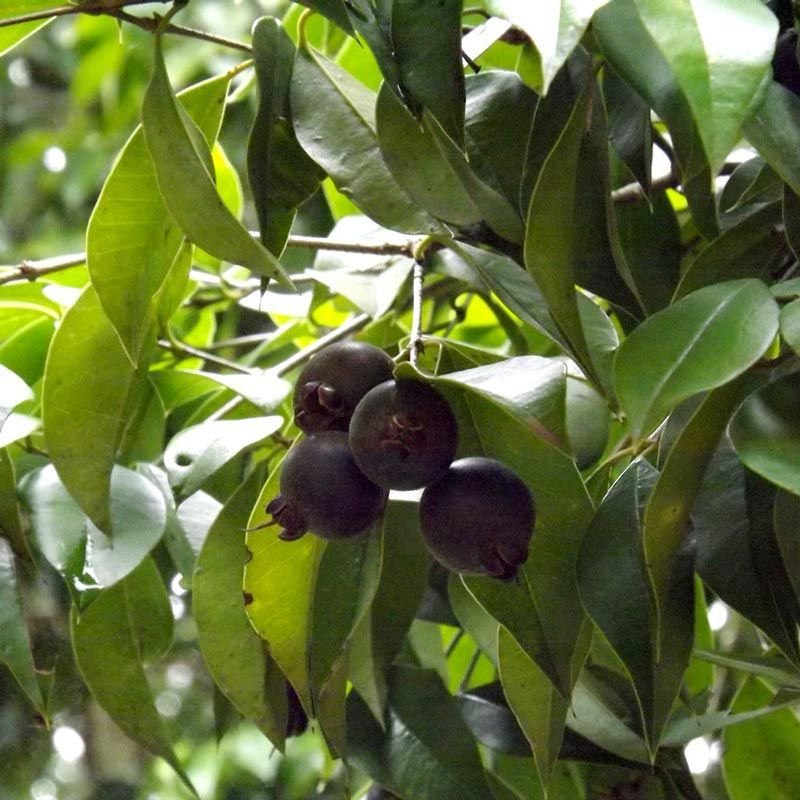Guabiju - O Mirtilo Brasileiro com aprox. 20cm