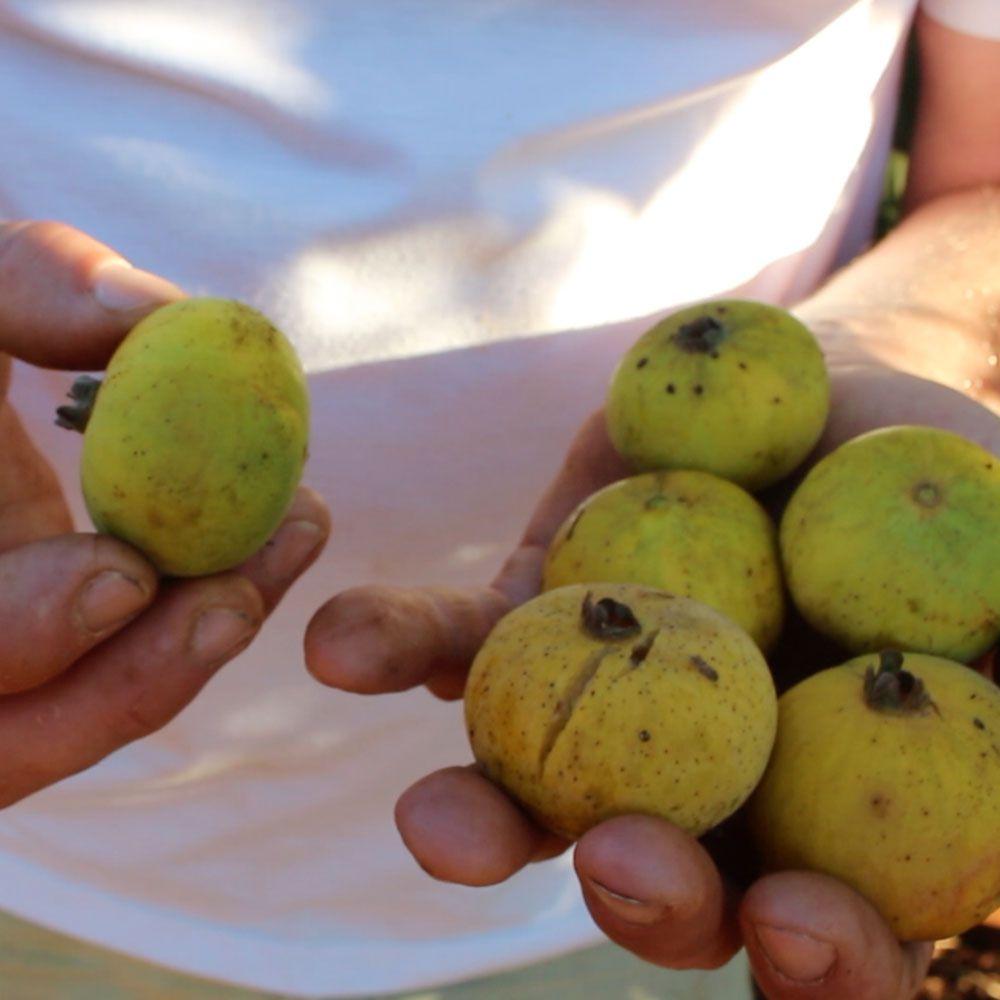 Guabiraba, Gabiraba ou Palilo - A Goiaba Perfume