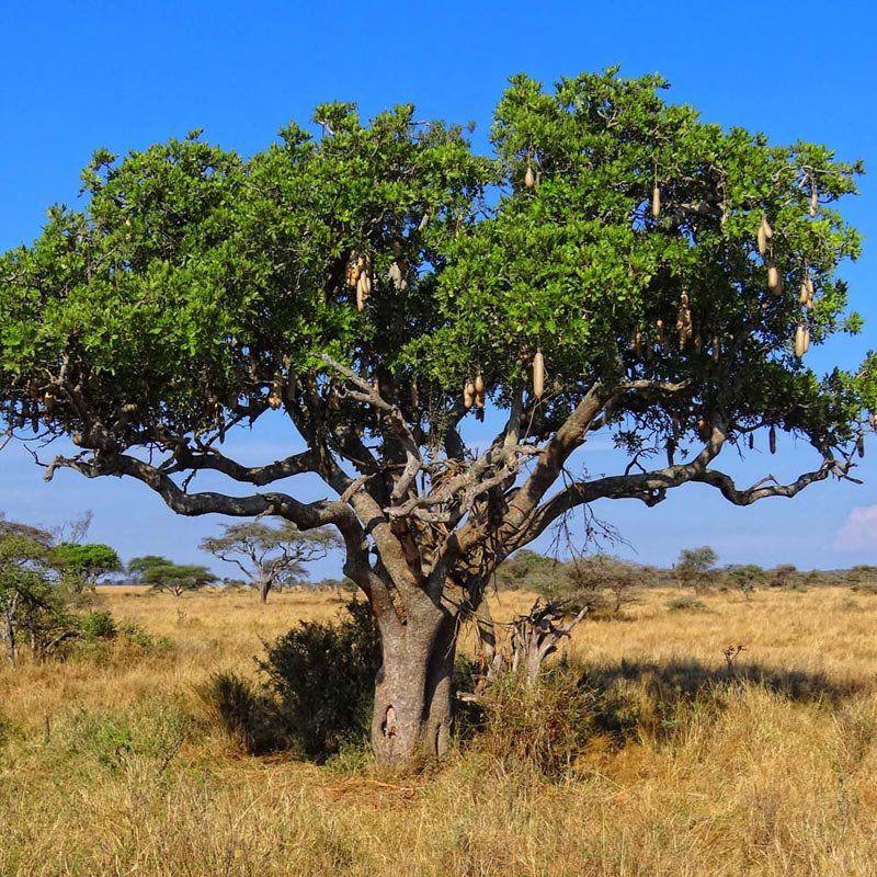 Muda da Árvore da Salsicha - Kigelia Pinnata