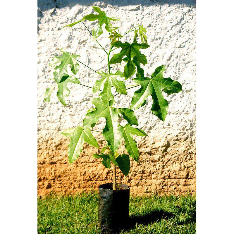 Muda da Árvore do Fogo - Brachychiton