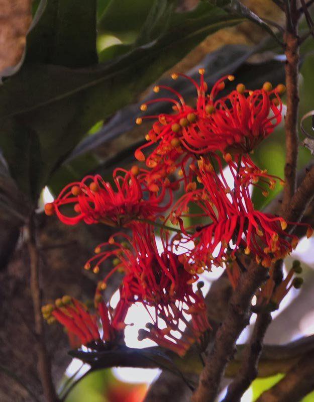 Muda da Árvore Roda de Fogo com aprox. 50cm  - Stenocarpus Sinuatus