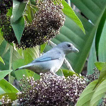 Muda da Calicarpa - Atrai Pássaros