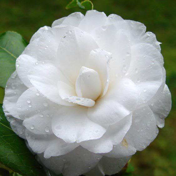 Muda da Flor Camélia Branca