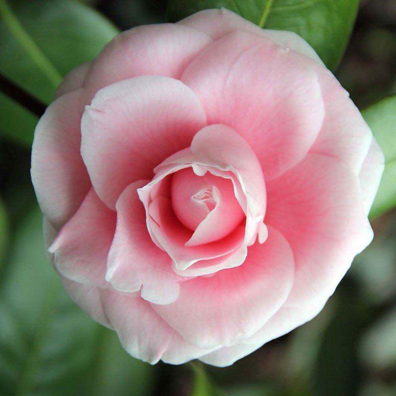 Muda da Flor Camélia Rosa