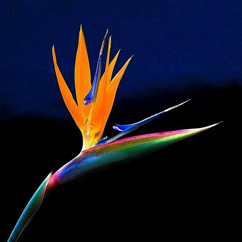 Muda da Flor Estrelícia - Strelitzia reginae Ait