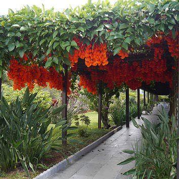Muda da Flor Trepadeira Jade Vermelha
