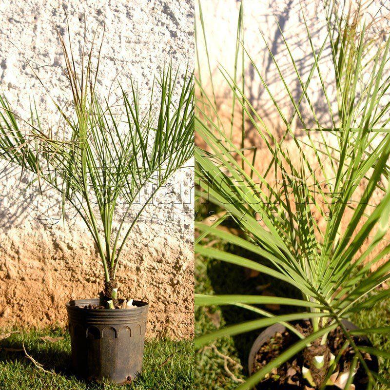 Muda da Palmeira Butiá da Serra